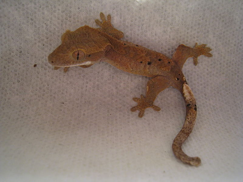 File:Crested gecko back.jpg