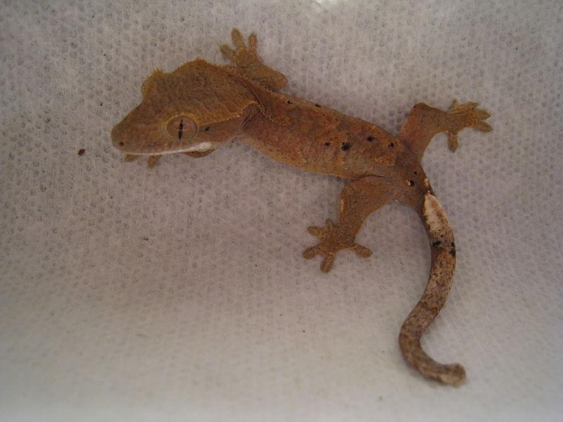 File:Crested gecko back.jpg