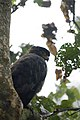 Crested serpent eagle at Chitwan, Nepal (1).jpg