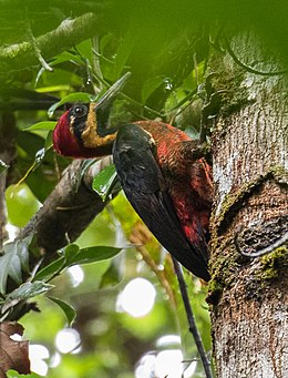 Crimson-bellied Woodpecker - Nusagandi - Panama (48431722217).jpg
