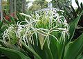 Crinum asiaticum (1).jpg