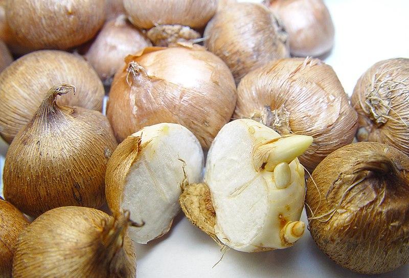 Оригинальный кашмирский шафран – купить в магазине специй делюкс. Рыльцами или пестиками и уже размножаться семенами не способен.
