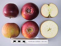 Cross section of Cox's Orange Pippin (HTC), National Fruit Collection (acc. 1982-202).jpg