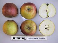 Cross section of Laxton's Superb (EMLA 1), National Fruit Collection (acc. 1979-170).jpg