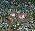 Crowned Lapwing (Vanellus coronatus) - Kroon Kiewiet - juveniles - jong voëls.jpg