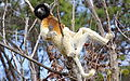Crowned Sifaka 2.JPG