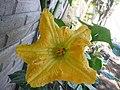 Cucurbita moschata (zapallo espontáneo) flor femenina F01 antesis vista superior estilos estigmas estaminodios hormigas.JPG
