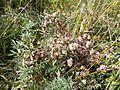 Cuscuta epithymum sl6.jpg