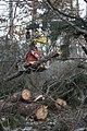 Cutting pine (6892107863).jpg
