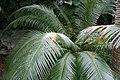 Cycas kedia 0zz.jpg