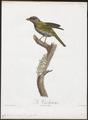 Cyclarhis guianensis - 1805 - Print - Iconographia Zoologica - Special Collections University of Amsterdam - UBA01 IZ16600281.tif