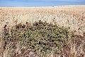 Cylindropuntia whipplei - Flickr - aspidoscelis (1).jpg