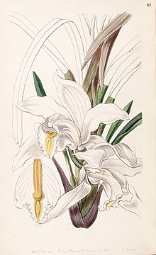 Cymbidium eburneum - Edwards vol 33 (NS 10) pl 67 (1847).jpg