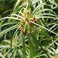 Cyperus alternifolius Cibora zmienna 2018-04-15 03.jpg