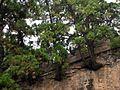 Cypress Trees in Wall at Dingling - Flickr - treegrow.jpg