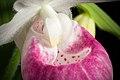 Cypripedium reginae '-190401' Walter, Fl. Carol. 222 (1788) (48036515778).jpg