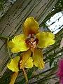 Cyrtochilum macranthum - Flickr 003.jpg