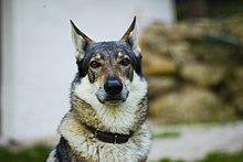 Czechoslovakian Wolfdog portrait.jpg