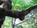 Dąb w Chocimiu (Park Krajobrazowy Góry Opawskie) 07.jpg
