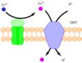 DMT1 Diagram.png