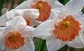Daffodils (17950191981).jpg