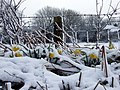 Daffodils in snow - geograph.org.uk - 1146193.jpg