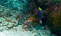 Dahlia (Coris gaimard) (Top) and Halfmoon Triggerfish (Sufflamen chrysopterus) (Bottom) (8510988690).jpg