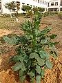 Dahlia flower plant.jpg