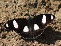 Danaid Eggfly Hypolimnas misippus Male by Raju Kasambe. At Anaikatty, Tamil Nadu..jpg
