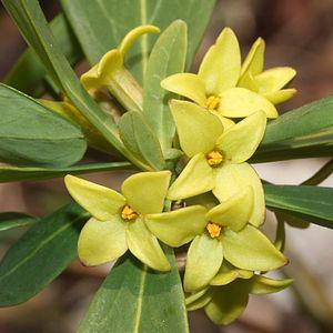 Daphne (plant) - Image: Daphne pseudomezereum (flower s 2)