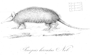 Hairy long-nosed armadillo species of mammal