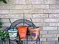Date Palm seedlings 2010.jpg