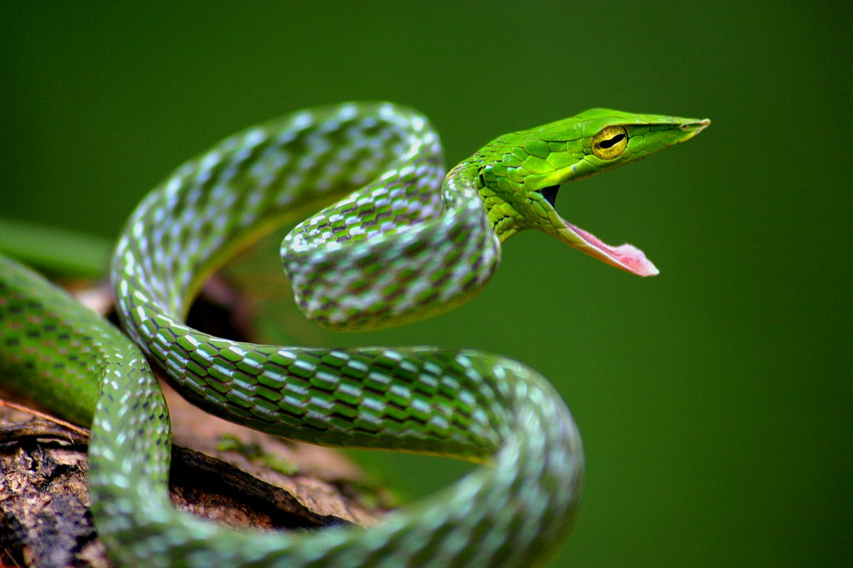 Image result for green vine snake