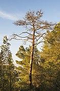Dead Aleppo Pine, Sète.jpg