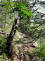 Dead tree (15345179532).jpg