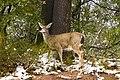Deer Eating (3769581897).jpg
