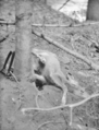 Deer caught in mountain lion trap set by Utah State Trapper, J.L. Crawford, park ranger in charge of monument. ; ZION Museum and (6f0da96f09774b7f99bdead1b4e356c6).tif