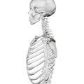 Deltoid tubercle of spine of scapula03.png