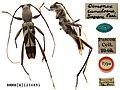Demonax cumulosus Pascoe, 1869 (Coleoptera Cerambycidae Clytini) (10157786366).jpg