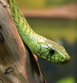 Western green mamba species of reptile