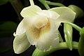 Dendrobium endertii (Kalimantan Indonesia) J.J.Sm., Bull. Jard. Bot. Buitenzorg, sér. 3, 11- 138 (1931) (35011074590).jpg