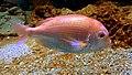 Dentex tumifrons Kyoto aquarium 1.jpg
