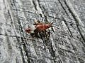 Deraeocoris flavilinea (Miridae sp.) nymph, Elst (Gld), the Netherlands.jpg