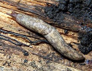 Slizniak sieťovaný (Deroceras reticulatum)