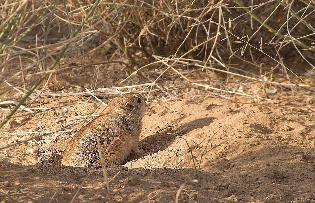 Desert Jird Desert NP Jaisalmer