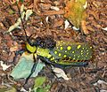 Desert Locust - Flickr - gailhampshire.jpg