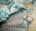 Diorama of a Devonian seafloor - trilobites, corals, gastropod, algae (43838403480).jpg