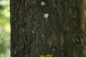 Diospyros ebenum - Diospyros ebenum stem