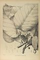Dipterocarpus tuberculatus00.jpg