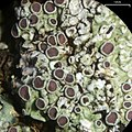 Dirinaria purpurascens (Vainio) B. Moore 132286.jpg